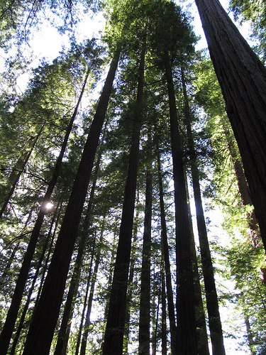 Redwoods in Humboldt State Park, California